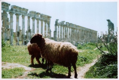 sheep-eid-al-adha-