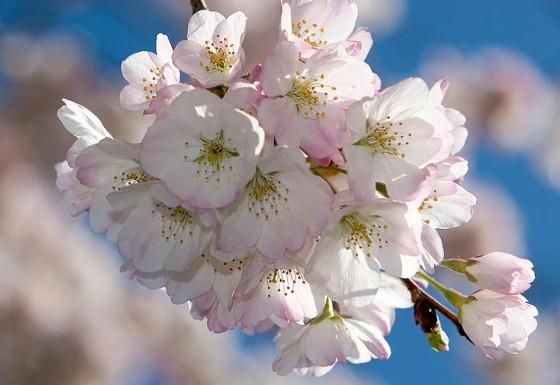 fruit_tree_blossoms_istock_001
