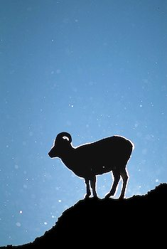 Alaska. Denali NP. Dall Sheep (Ovis dalli) ram.