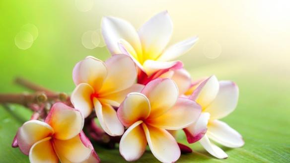 jasmine-flower-hd-wallpapers-37.jpeg